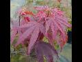 Prodej Japonské javory, Javor dlanitolistý - Acer palmatum, okrasné dřeviny