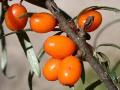 Prodej ovocn� ke�e drobn� ovoce rakytn�k �e�etl�kov� Hippophae rhamnoides Liberec.