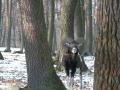 Lov muflonů a daňků