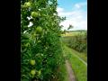 Prodej ovoce, jablek, hrušek, švestek, třešní, višní Znojmo