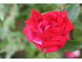 Prodej sazenic růží Brno venkov