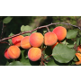 Prodej ovocných stromků a především kvalitně pěstovaných meruněk ...