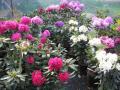 Prodej okrasných rostlin Kolín