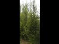 Prodej jehličnaté, listnaté dřeviny, stromy, keře Třinec