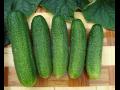 Pěstování okurek nakladaček, tradice ze Znojemska