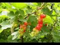 Prodej ovocných keřů Třinec
