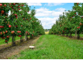Čerstvé jablka Znojmo