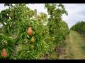 Prodej čerstvého ovoce, hrušky   Třebíč, Vysočina