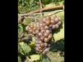 vina�stv� ji�n� Morava
