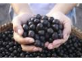 antioxidant ovoce Acai Mikulov