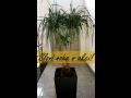 Nolina Recurvata-sloní noha-pokojová rostlina v akci za 2200Kč
