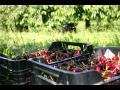 Ovocie na p�lenie, �ere�ne, vi�ne a slivky