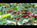 Ovoce na pálení, třešně, višně, švestky   jižní Morava, Vysočina
