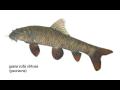 Procedury s rybičkami Garra rufa, rybí pedikúra; Nebezpečné? Přenášejí nemoci? Šíří žloutenku a HIV? Hrozí nákaza?
