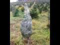 Vánoční stromky a jejich balení (Sušice)