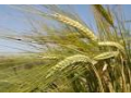 Pšenice, řepka i další zemědělské plodiny z jižní Moravy - Valtice