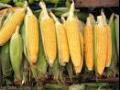 Kukuřice může být využita jako krmivo