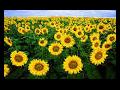 Slunečnice se zpracují na výborný olej