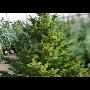 Vánoční stromky-prodej vánočních stromků v zahradnictví Jalubí, Babice