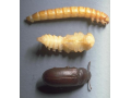 Chov, rozvoz, prodej zvířat, saranče stěhovavé, cvrček domácí, červ moučný, zofobas Zlín