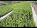 Lesní sazenice a balkónové rostliny pro jarní výsadbu - prodej