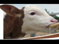 Mléčné krmné směsi pro telata, mléčná výživa telat, prodej, výroba ...