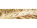 Pšenice, ječmen, žito a tritikále k osevu Kněževes - prodej semen a ...