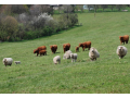 Ekofarma, ekologick� zem�d�lstv�-jehn���, skopov�, hov�z� maso pro restaurace, j�delny