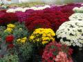 chryzantémy jsou podzimní květiny