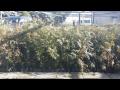 Akce na thuja plicata, borovice kleč, smrk - prodej