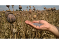 Rostlinn� a �ivo�i�n� v�robky - p�stov�n� obilovin, �epky olejn�, cukrovky, chov krav