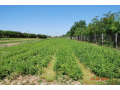 Prodej a pěstování lesních sazenic - buk lesní, smrk