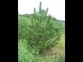 V�no�n� stromky a bal�c� s�t�  Hr�dek, okres Klatovy