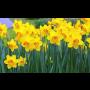 Prodej cibulovin - petrklíče, narcisy, hyacinty a jarní cibulové ...