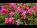 Prodej balkónových květin a osazování truhlíků - balkónové květiny plné jarních barev