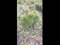 Výprodej borovice kleč zakrslá - vhodná do skalek, předzahrádek, vřesovišť