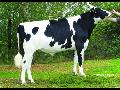 Plemenářské služby chovný plemenný dobytek masný skot inseminace