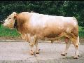 Plemen��sk� slu�by chovn� plemenn� dobytek masn� skot inseminace