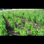 Zeleninová sadba na zahradu Opava - rajčata, zelí, okurka, paprika, kedlubny, saláty k výsadbě