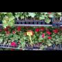 Muškát, maceška, surfinie, begonie a další balkonové květiny Opava