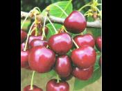 Prodej a pěstování ovocných stromků, klasické i rezistentní odrůdy