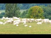 Živočišná výroba Pardubice – chov skotu na mléko a maso