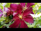 Popínavé rostliny Srch - ideální rostliny do menších zahrádek