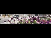 Mechanizované sázení cibulovin a pestrobarevné směsi cibulovin do měst a parků
