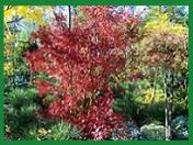 Sazenice okrasných jehličnatých, listnatých stromů - prodej