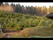 Prodej oblíbených a žádaných vánočních stromků Kavkazská jedle na E-shopu i s frézováním kmínku