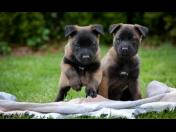 Veterina Česká Lípa, Na co si dát pozor při pořízení štěněte, rady a doporučení k pořízení štěněte