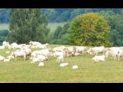 Prodej vysokobřezích jalovic Pardubice, jalovice holštýnského skotu od vysokoužitkových dojnic