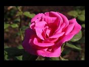 Prodej sazenic růží různých odrůd od českého pěstitele v Brně a okolí