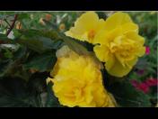 Balkónové květiny, macešky, okrasné dřeviny - prodej